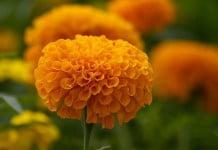¿Qué es la flor de cempasuchit?