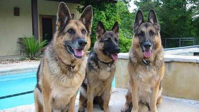 Perros grandes casas gigantes