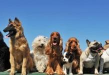 razas de perros caras