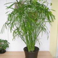 planta-para-hogar-cyperus-alternifolius