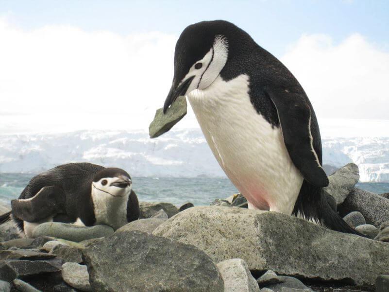 Alca gigante Pingüinote