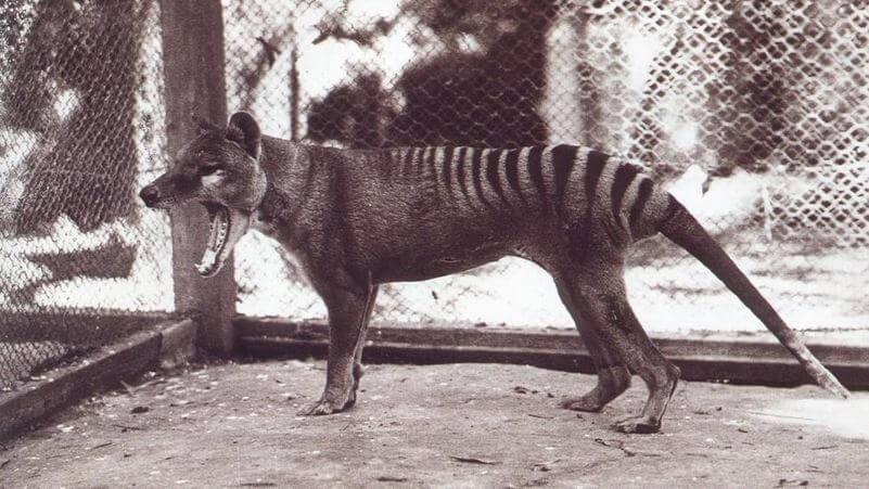 El extinto tigre de tasmania