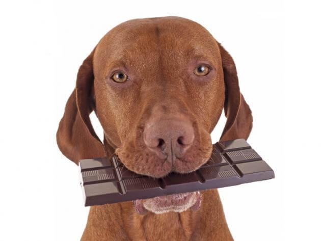 chocolate malo para perros