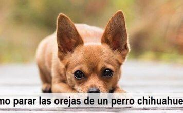 Cómo parar las orejas de un perro chihuahueño