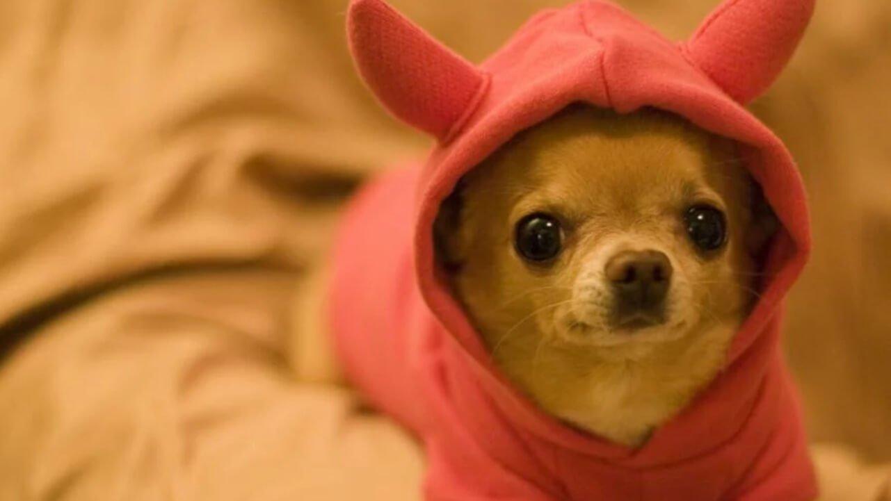 como cuidar un perro chihuahueño en epoca de frio