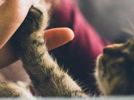 como demuestran amor los gatos a su dueño