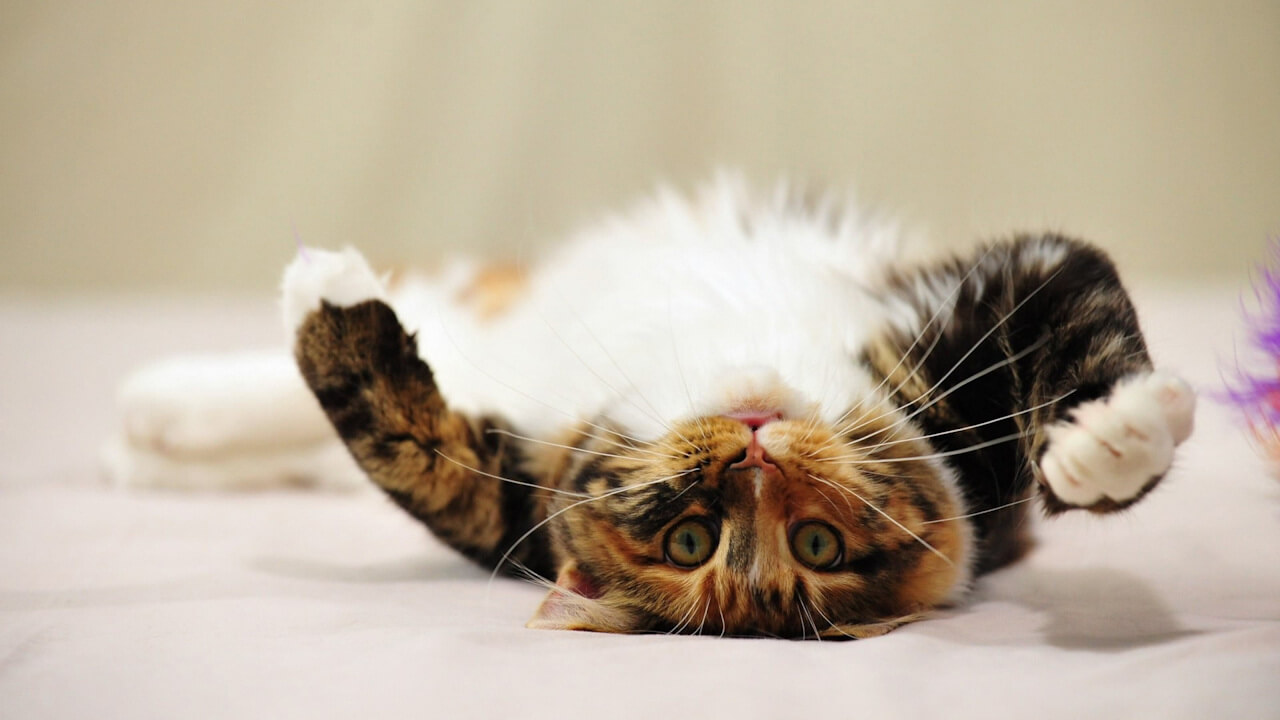 gato panza arriba