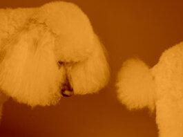 Por qué los perro se huelen la cola